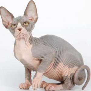 Как выглядит кот породы Донский сфинкс?