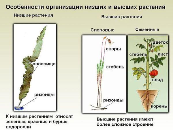 Низшие и высшие растения. В чём их отличия? Что это за ...