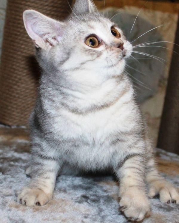 Черные корочки на морде у кота, что это такое (фото)?