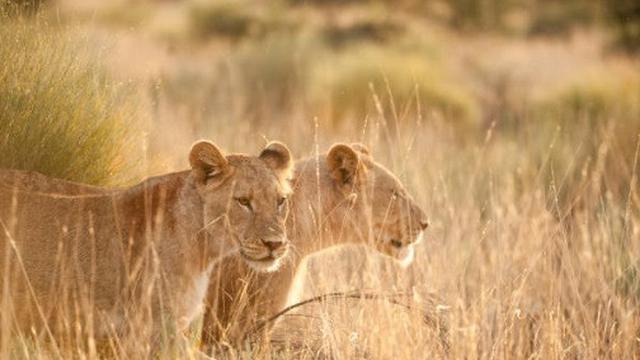 Singa di Afrika Selatan.