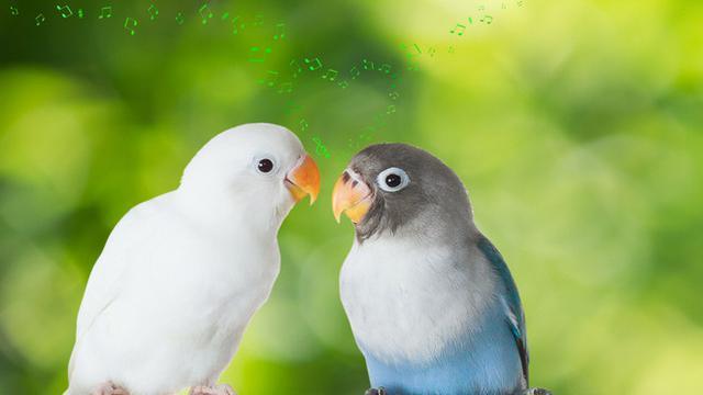 Jenis dan Harga Lovebird