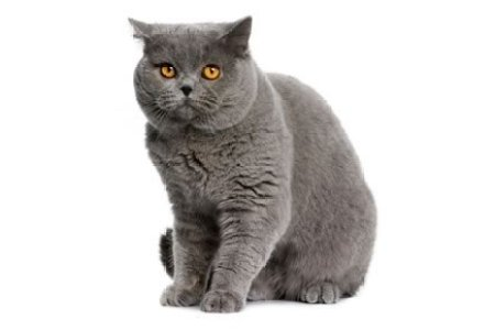 blue british shorthair cat sitting photo wp blue british shorthair cat sitting white background british blue cats a complete guide by the happy cat site