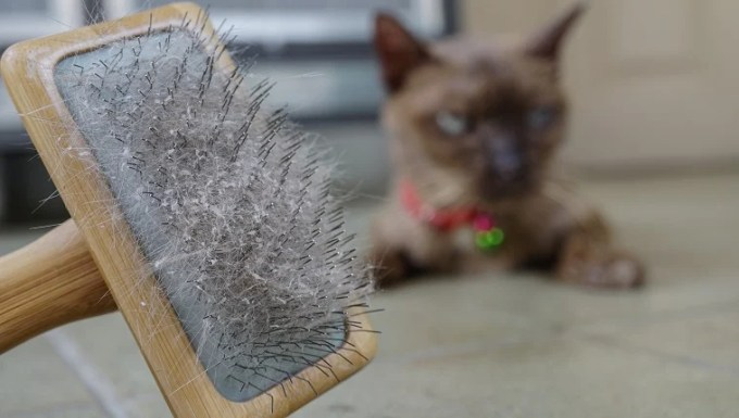 Cat skin and hair on brush after grooming. Hair an skin problem on cat.