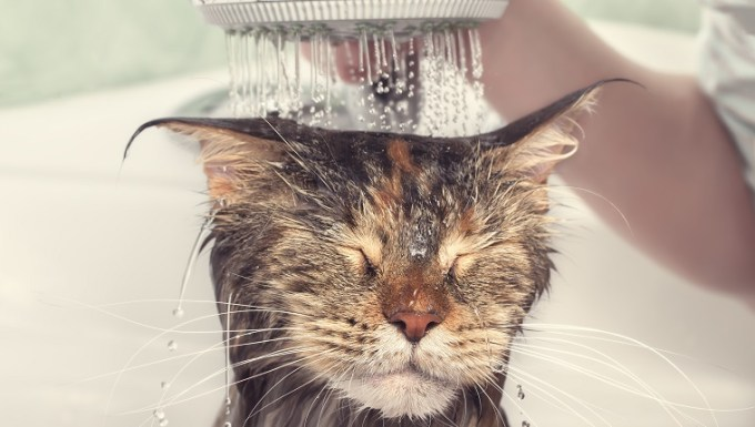 Cat bath. Wet cat. Girl washes cat in the bath