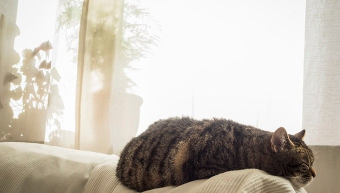 Cat sleeping on couch in front of curtain.