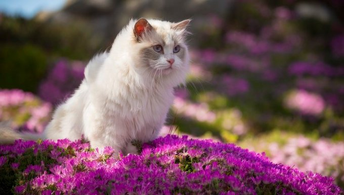 A white ragdoll cat sits in a bed of pink flowers.