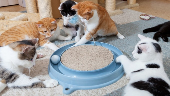 group of domestic cats together at their game at cat ball station