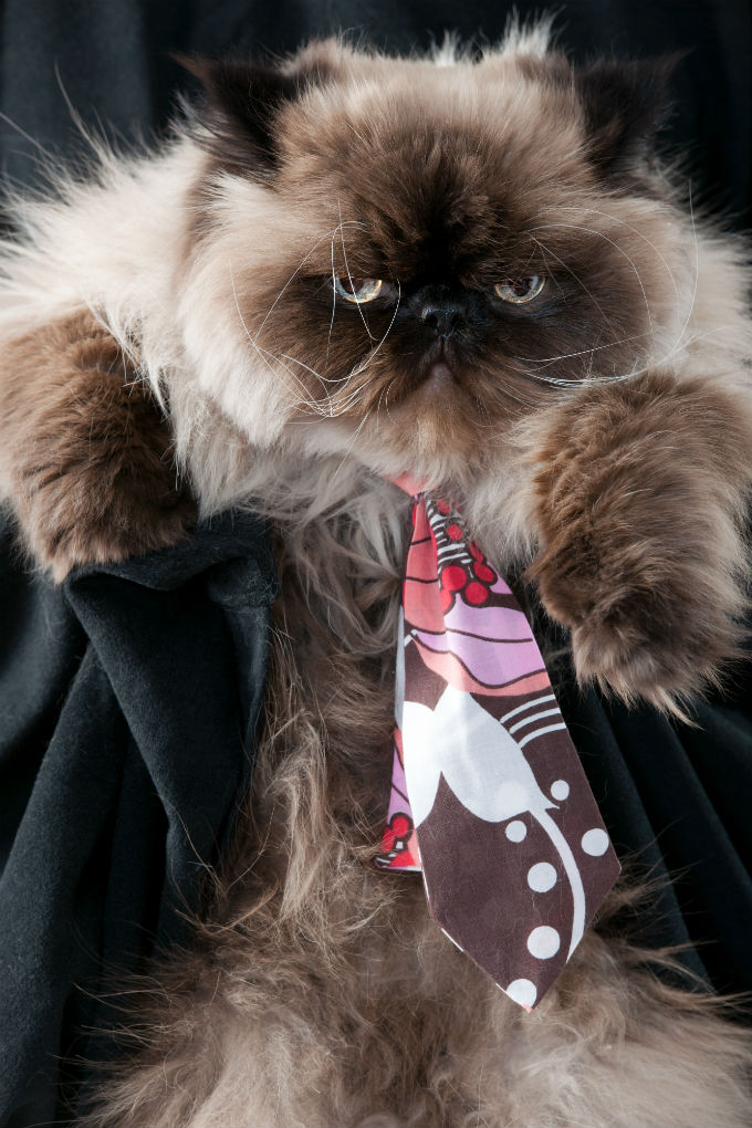 Himalayan Cat Breed Information Pictures Characteristics