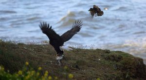 Adult Bald Eagle with Common Murre in Talons being chased by Crow
