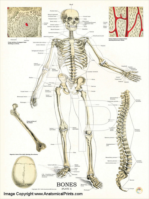 Human Skeleton -Anatomy and Physiology Poster - Clinical ...