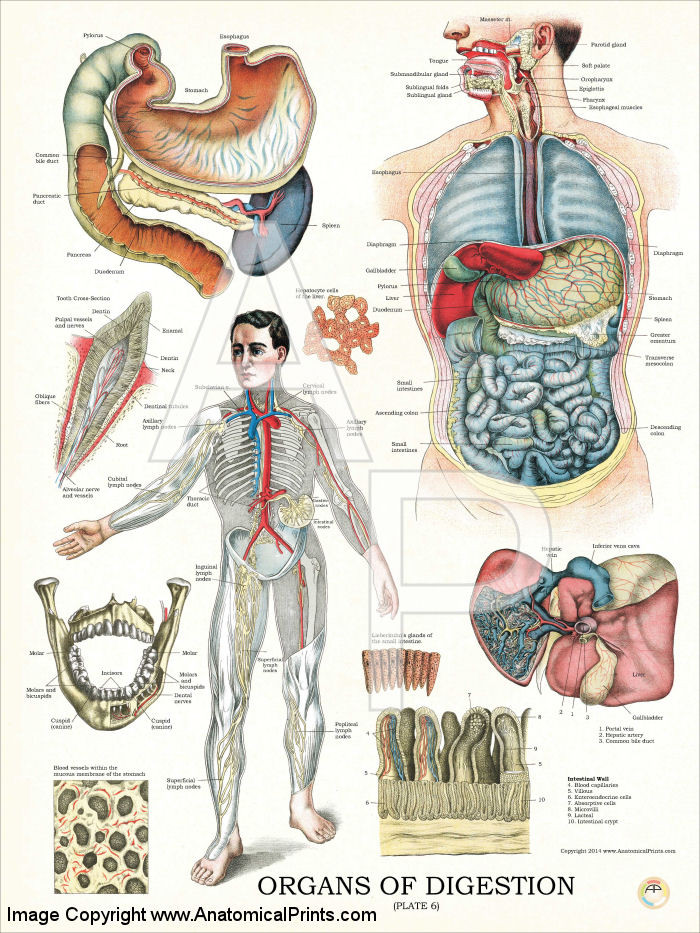 Digestive System Organs Anatomy Poster - Clinical Charts ...