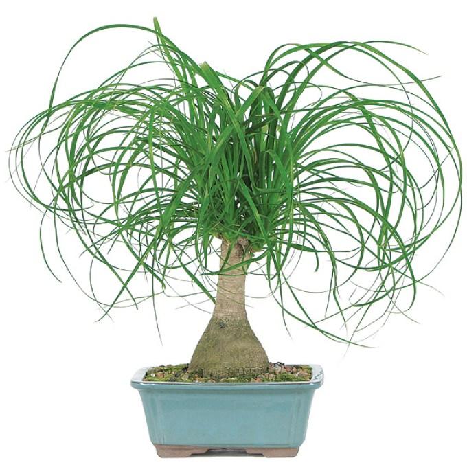 ponytail-bonsai-tree.jpg