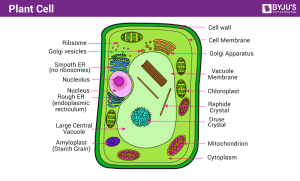 Plant Cell  Definition, Structure, Function, Diagram & Types