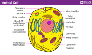Animal Cell  Structure, Function and Types of Animal Cells