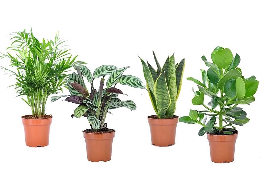 Set van 4 easy care kamerplanten (25 - 45 cm)