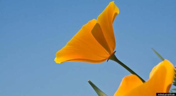 California Poppy Seed As Effective As Prescription Pain ...