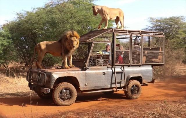 Senegal'de tehlikeli safari turu: Bu kez kafeste insanlar var - 1