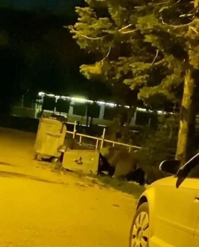Uludağ'da aç kalan ayılar kamp alanına indi - 3