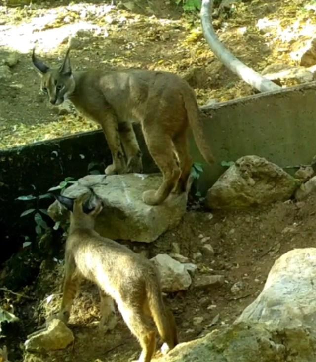 'Ormanın hayalet kedisi' karakulak Antalya'da görüntülendi - 4