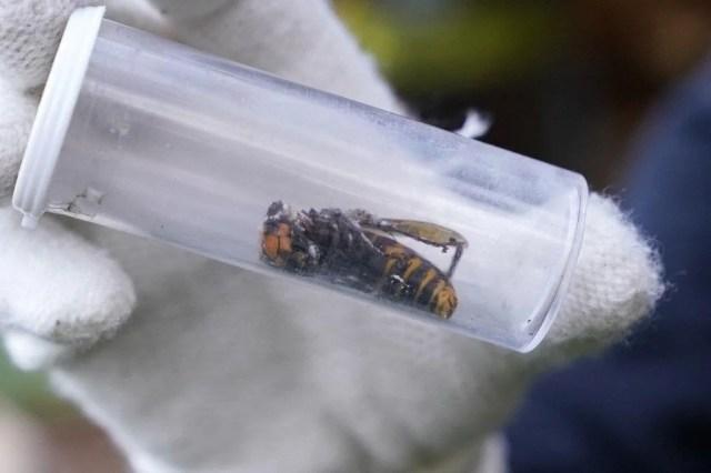 """ABD'de """"katil eşek arısı"""" endişesi sürüyor: Uzun ve zehirli bir iğneye sahip - 1"""