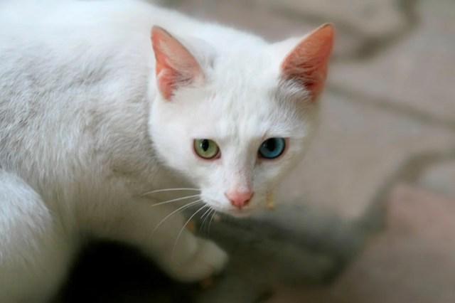 Araştırma: Bütün kedi ırkları içerisinde en saldırganı Van kedisi - 6