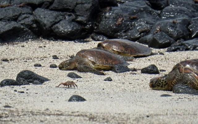 100 yıl önce soyu tükendiği düşünülen dev kaplumbağa Galapagos Adaları'nda bulundu - 6