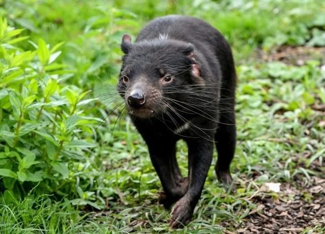 Tazmanya canavarı 3 bin yıl sonra Avustralya ana karasında doğdu: Yavru Joey dünyanın geleceğine dair umutları artırdı - 2