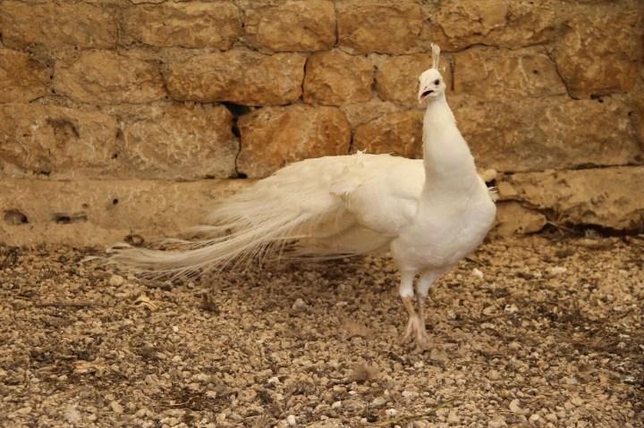 Hobi için tavus kuşu beslemeye başladı, şimdi tanesini 2 bin liradan satıyor - 2