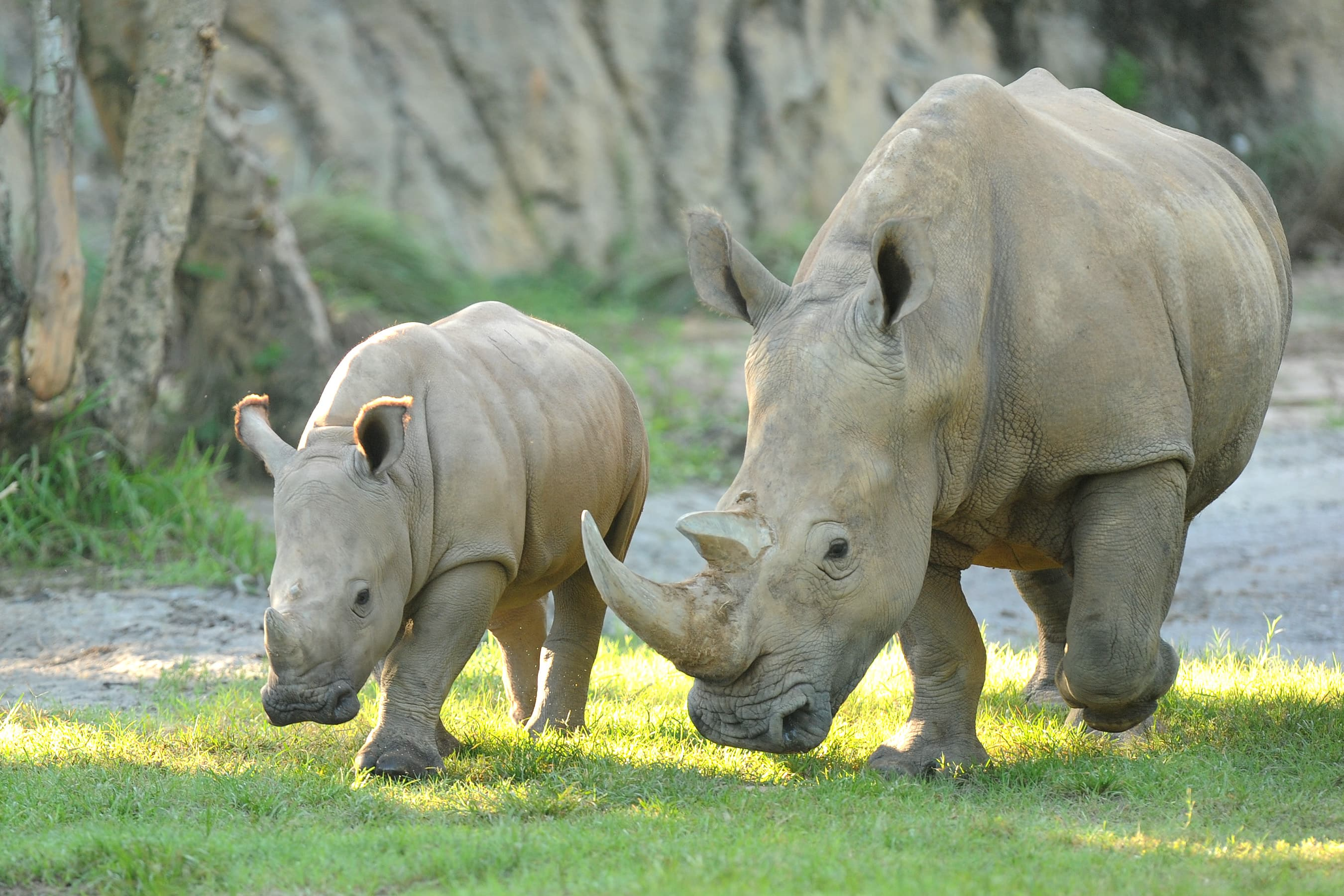Wildlife Wednesdays Fun Facts Shared On Rhino Day At