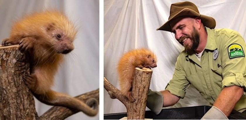 La porcupette nacida en Disney's Animal Kingdom