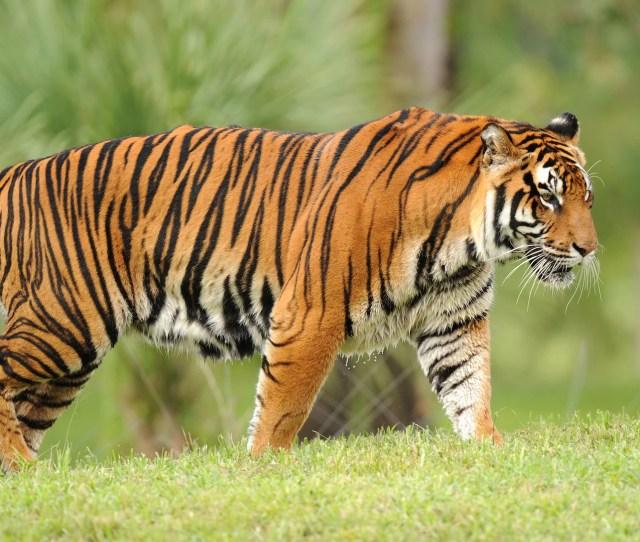Tigers Disney Animals Walt Disney World Resort