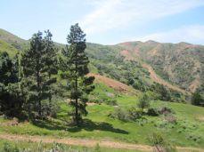 Odd pine trees on the Fenceline Trail