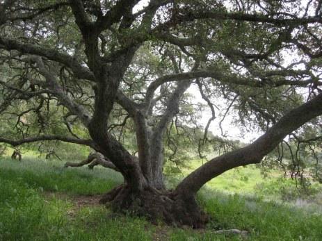 Scrub Oak at Black Jack campground