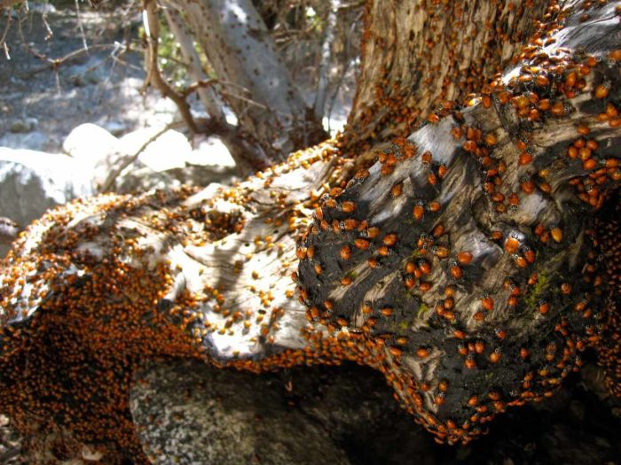 Thousands of Ladybugs