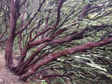 Dramatic smooth-bark of the manzanita