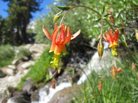 More Wildflowers on the JMT