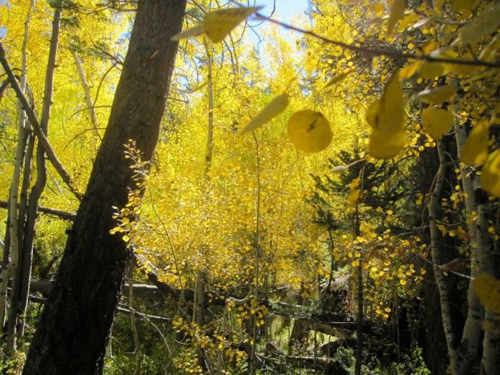 Aspen Autumn Color
