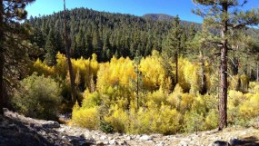 Aspen Grove in the San Gorgonio Wilderness