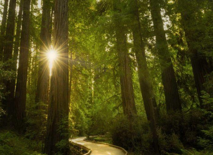 Sunlight through the redwoods in Muir Woods