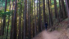Thick grove of young redwoods