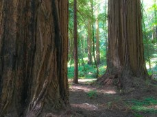 Towering redwood giants on the Main Trail in Muir Woods