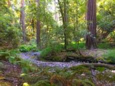 Meandering Redwood Creek runs right through Muir Woods