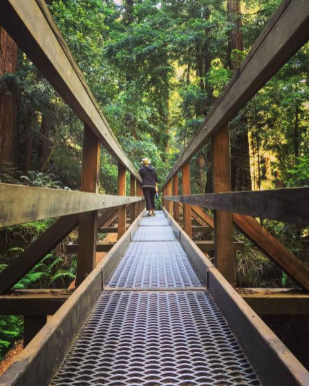 This bridge is built atop a fallen redwood