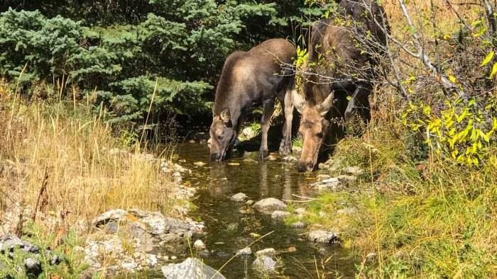 Moose near Phelps Lake inlet