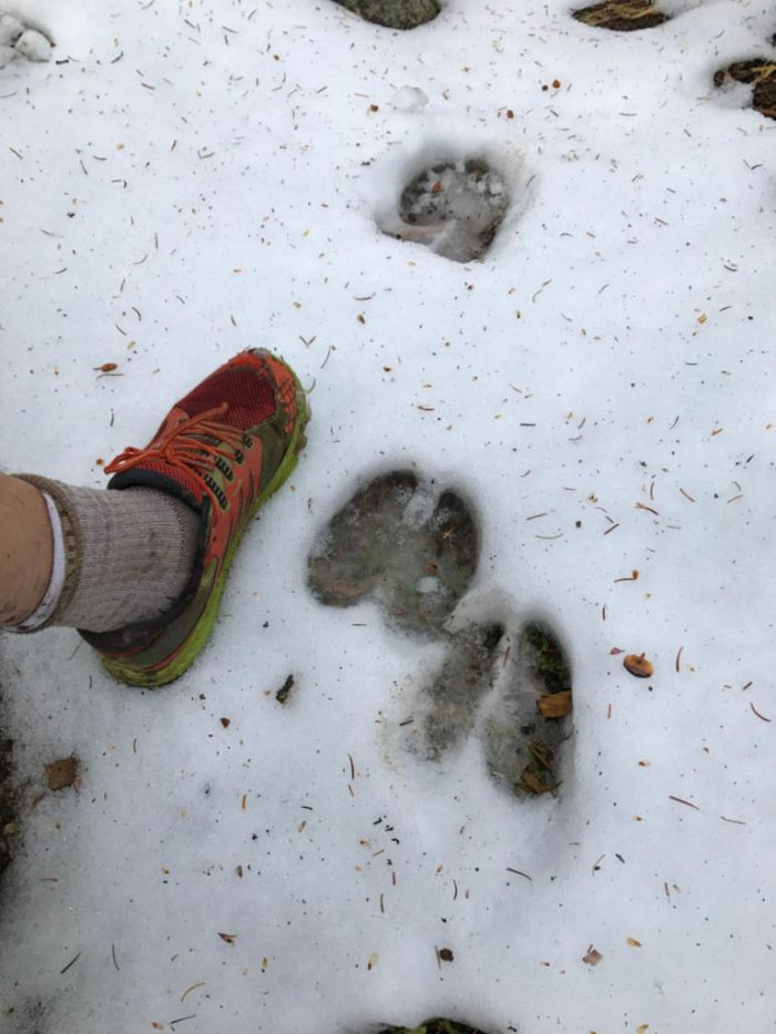 Big animal tracks