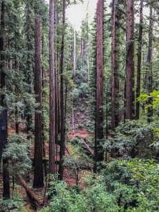 Looking at the trail through the redwoods