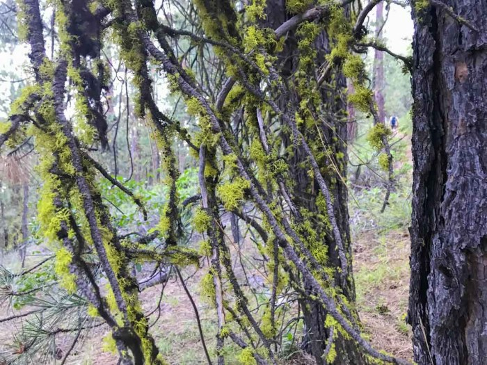 Branches covered in moss along the Black Butte Trail