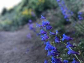 Wildflowers on Black Butte