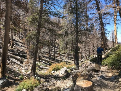 Trees burned in the 2015 Lake Fire pose a potential falling hazard
