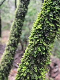 Feathery moss grows on many of the trunks